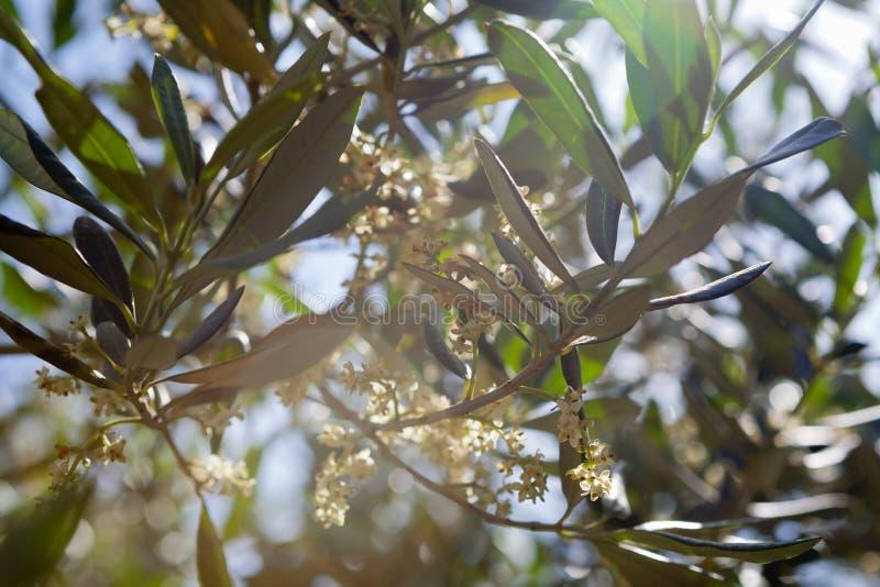 Olivo en la floración imagenes de archivo