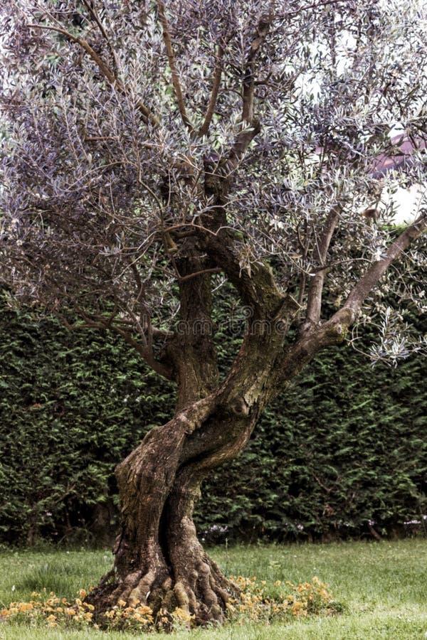Olivo obrazy stock