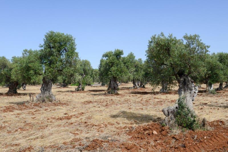 Olivos en Salento en Puglia fotos de archivo