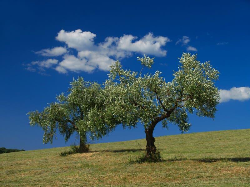 Olivos y nubes fotografía de archivo
