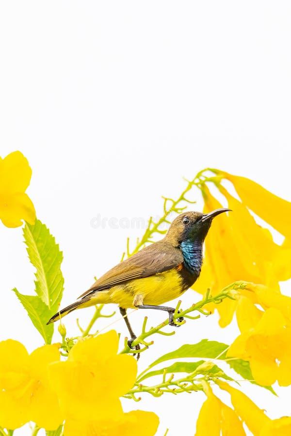 Olivryggsryggig solfågel på Gula Trumpetblomstusch arkivfoton