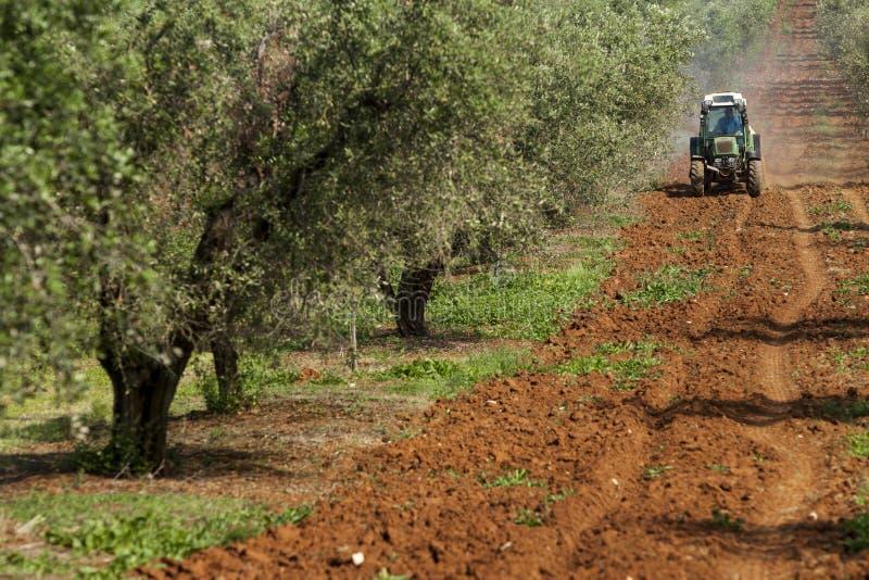 Olivträd arkivbilder