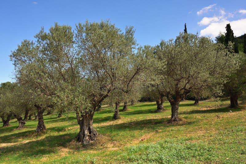 Download Olivträd dunge, Grekland fotografering för bildbyråer. Bild av smutsa - 78728877