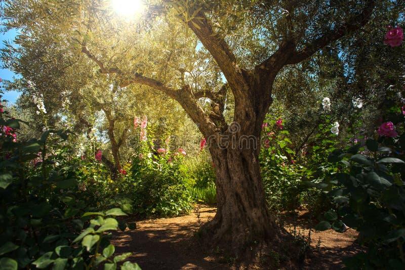 Olivträd i den Gethsemane trädgården, Jerusalem arkivfoto