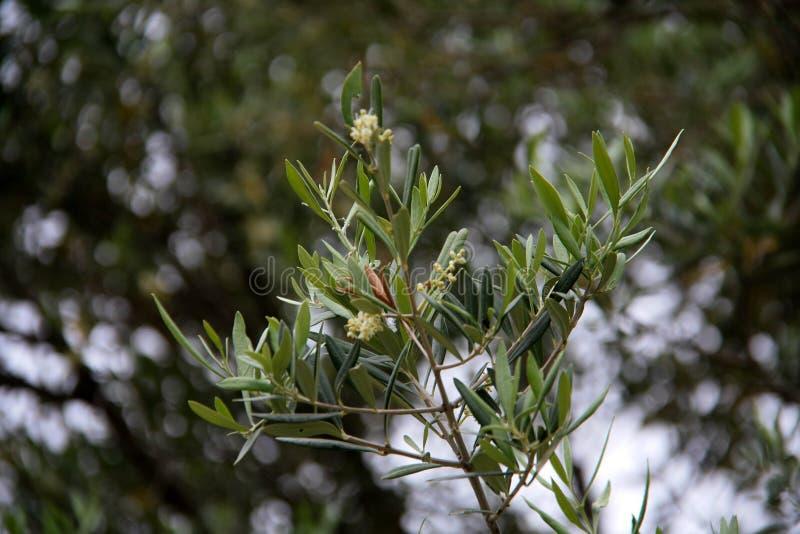 Olivträd i Grekland arkivbild