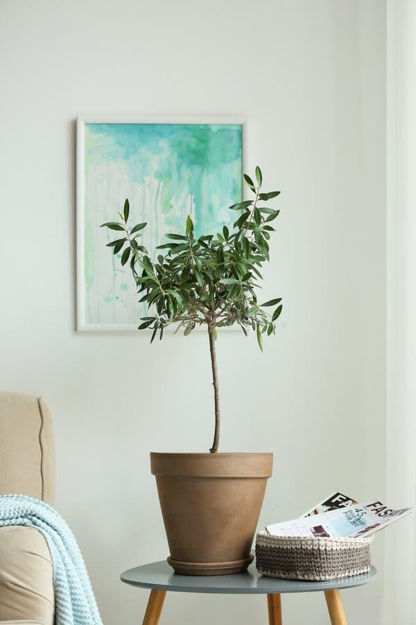 Olivträd i kruka på sidotabellen arkivfoton