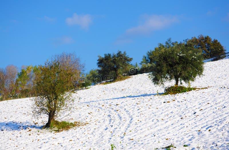 Olivträd i snön arkivfoto