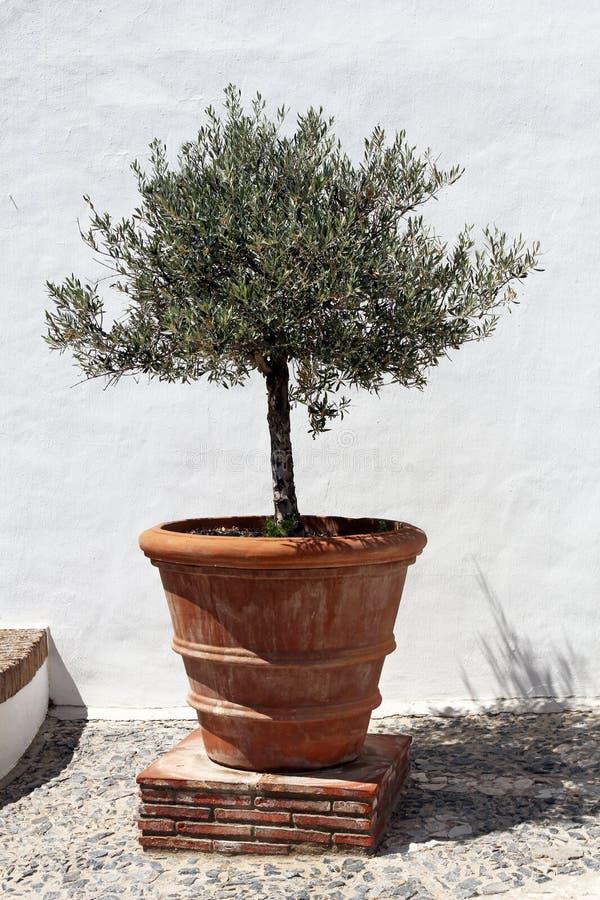 Olivträd i tappningterrakottablomkruka royaltyfri fotografi