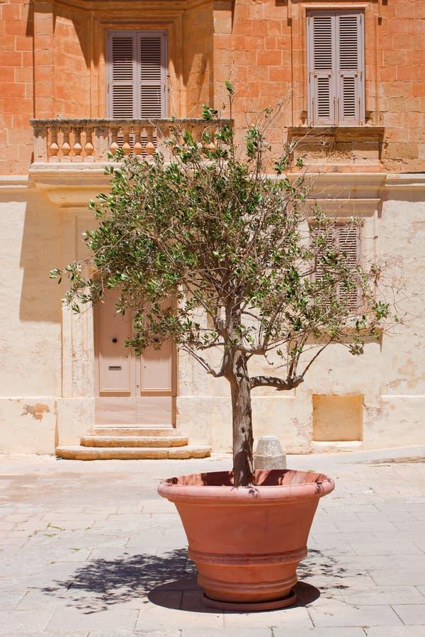 Olivträd i terrakottakruka royaltyfri bild