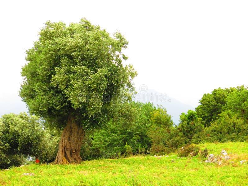 Olivträd Ithaca ö, Grekland royaltyfri foto