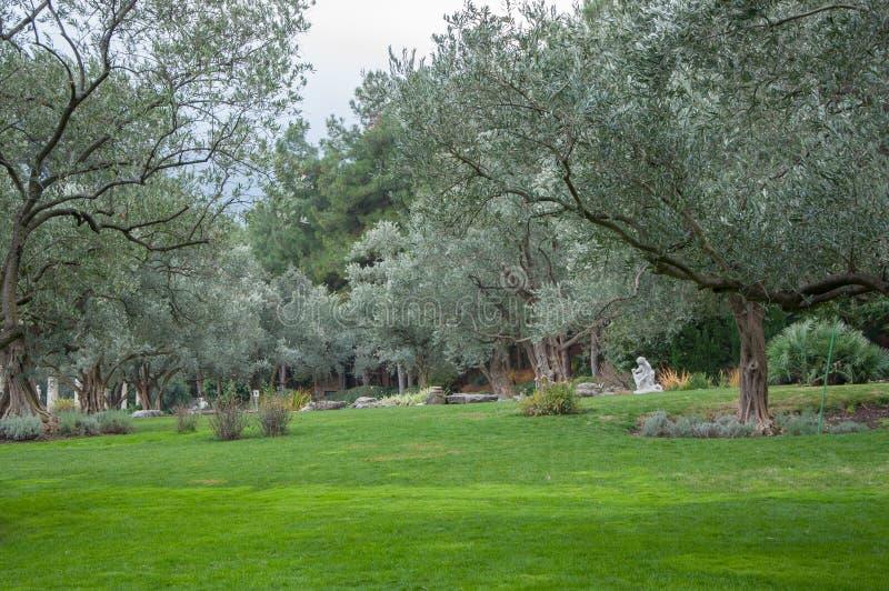 Olivträd och gräsmatta i ett exotiskt parkerar arkivbild