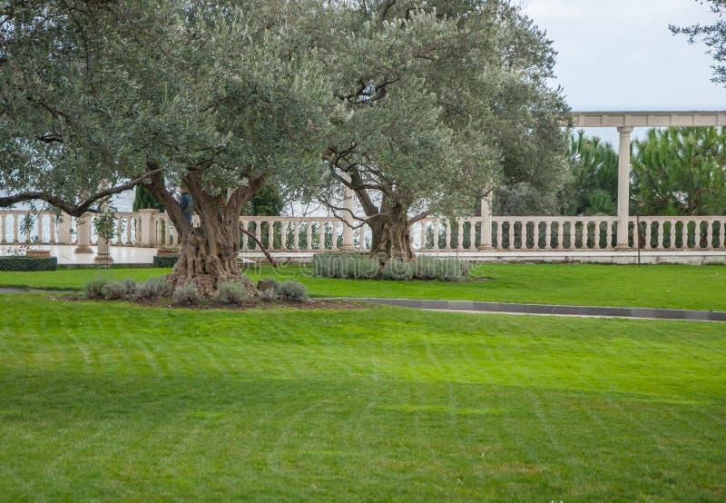 Olivträd och gräsmatta i ett exotiskt parkerar arkivfoto
