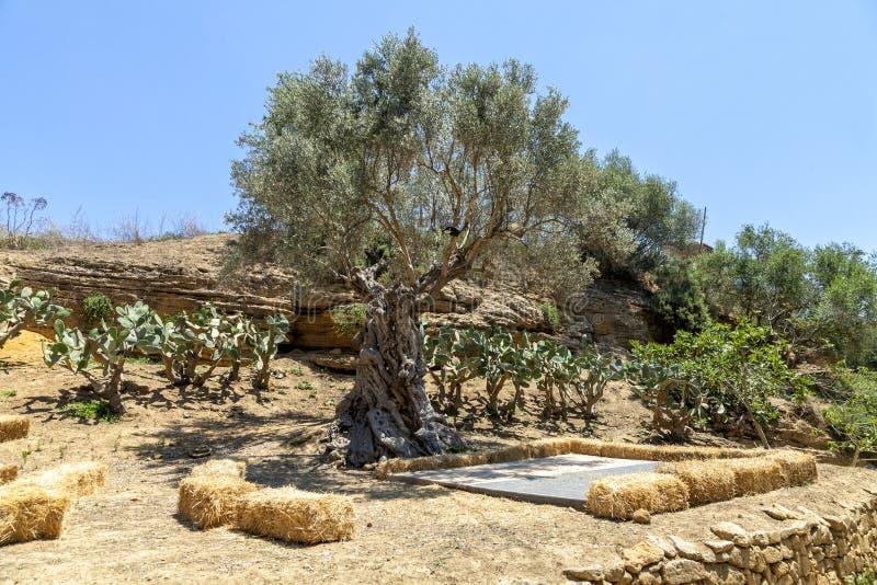 Olivträd och kaktus i den Kolymbetra trädgården i dalen av templen Agrigento Sicilien, Italien royaltyfria bilder