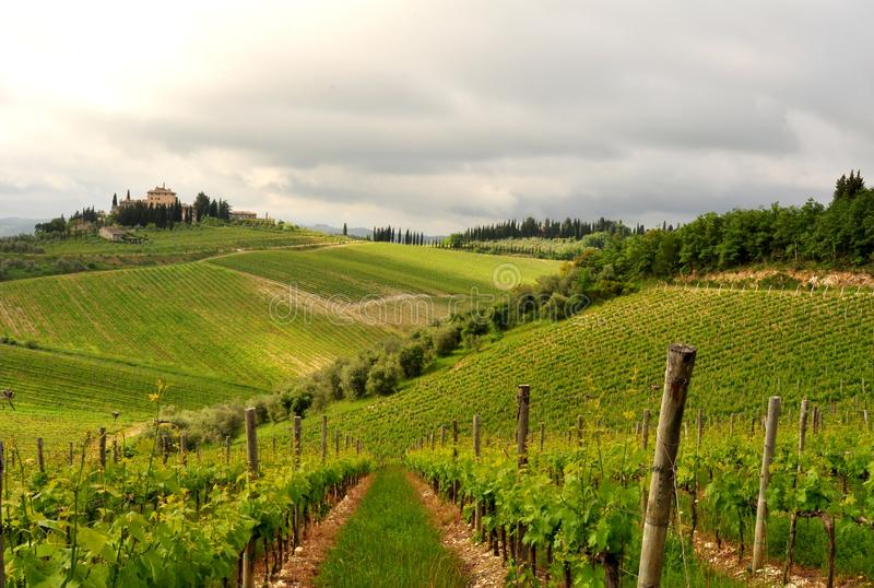 Olivträd och vingårdar i Tuscany, Italien fotografering för bildbyråer