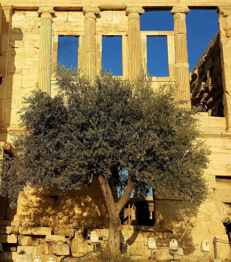 Olivträd på Erechteion, akropol, Aten, Grekland arkivbilder