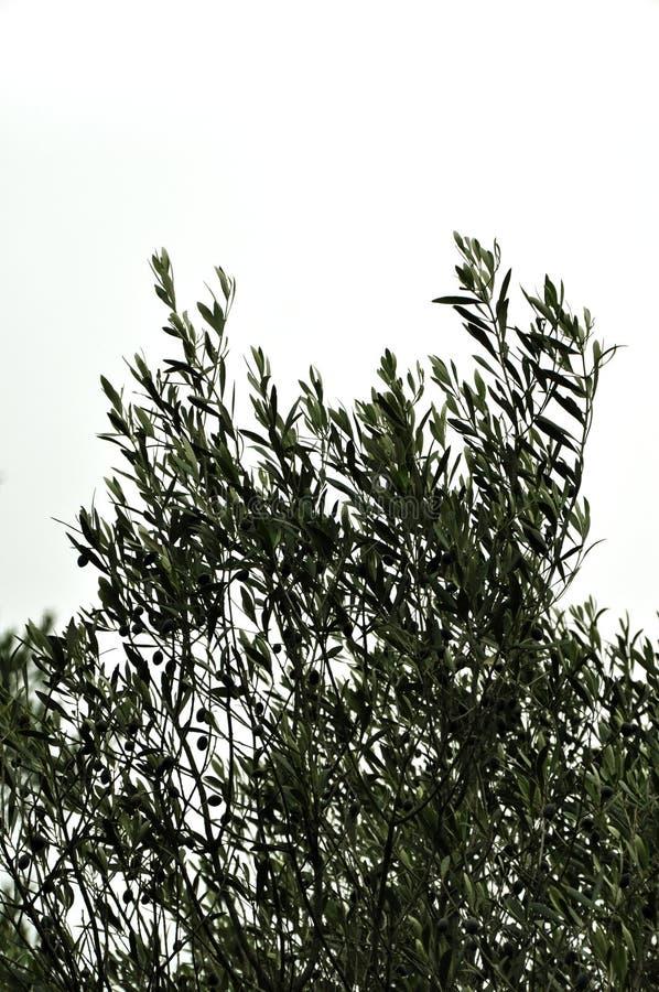 Olivträdfilialer arkivfoton