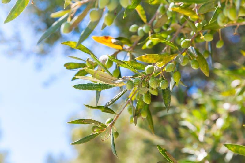 Olivträdfilialer med gräsplan bär frukt i solljus arkivbild