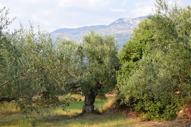 Olivträdlandskap Kalamata, Grekland arkivbilder
