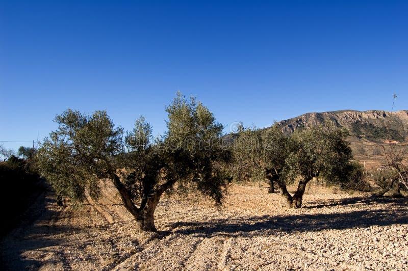 oliwek antyczni drzewa obraz stock