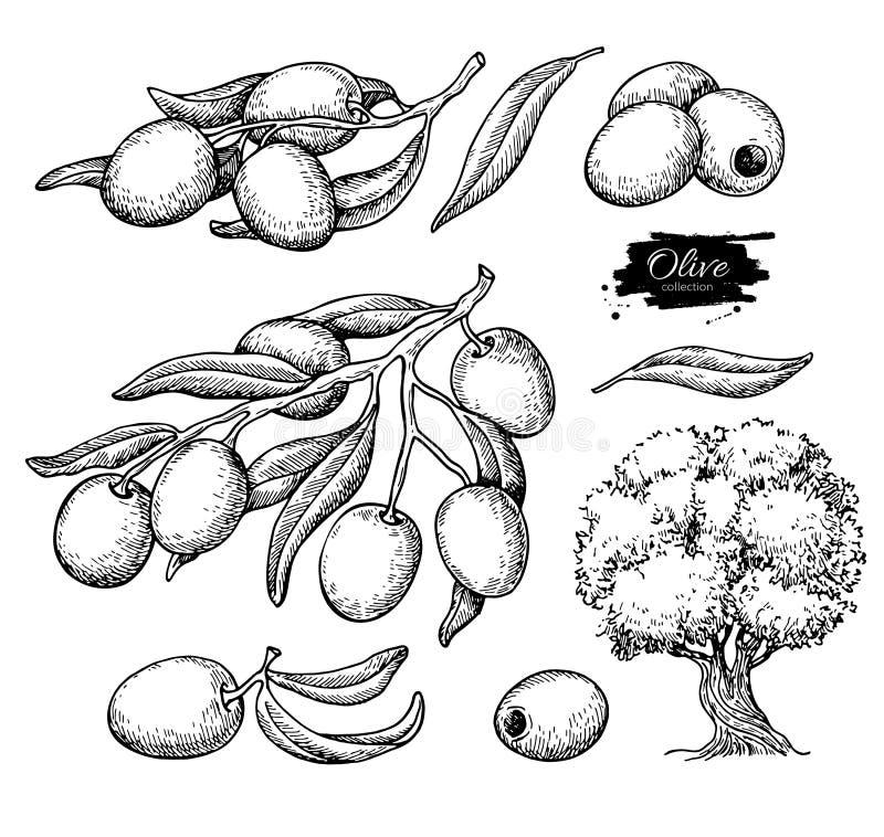 Oliwka set Wręcza patroszoną wektorową ilustrację gałąź z jedzeniem, drzewo, olej kropla ilustracja wektor