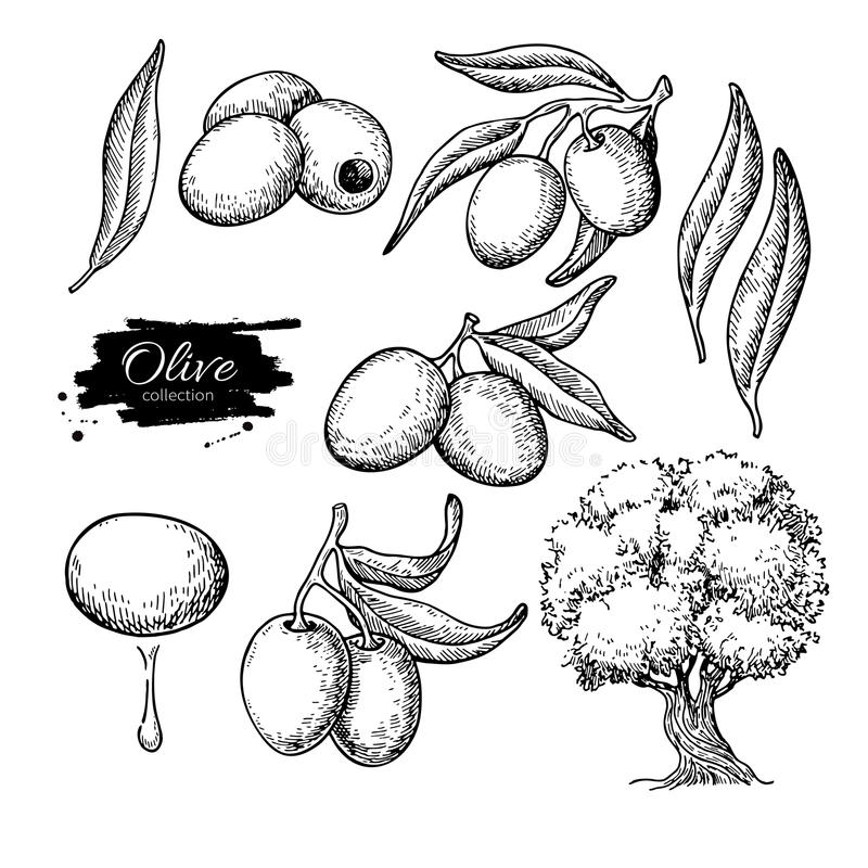 Oliwka set Wręcza patroszoną wektorową ilustrację gałąź z jedzeniem, drzewo, olej kropla Odosobniony rysunek na białym tle ilustracja wektor