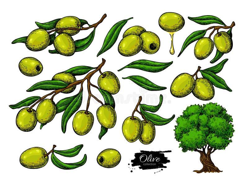 Oliwka set Wręcza patroszoną wektorową ilustrację gałąź z zielonym jedzeniem, drzewo, olej kropla royalty ilustracja