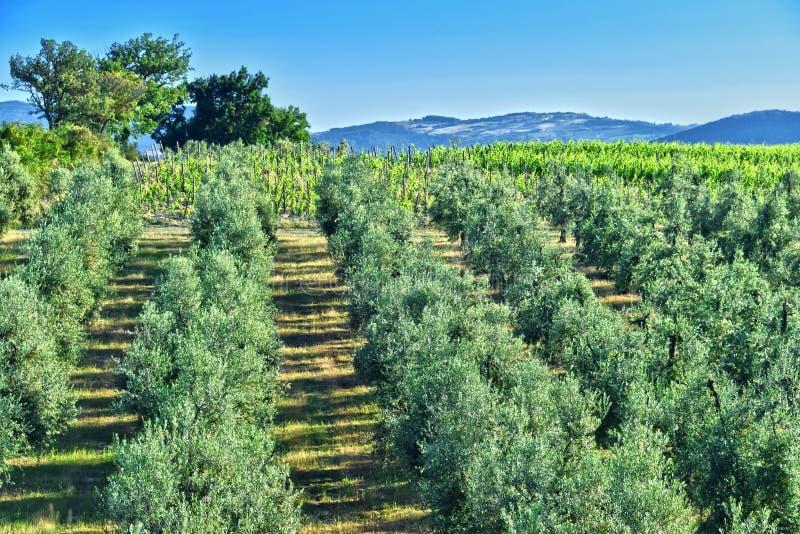 Oliwka winnicy blisko Montalcino i plantacja, Tuscany, Włochy zdjęcia stock