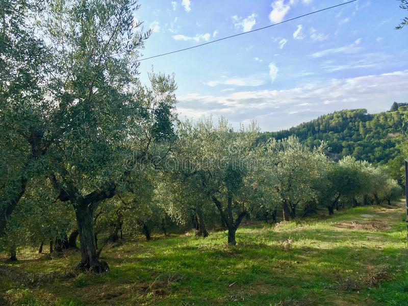 Oliwki gospodarstwo rolne w Włochy Tuscany fotografia stock