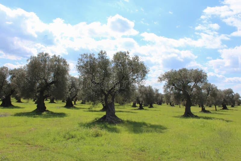 Oliwki niebieskie niebo i drzewo: śródziemnomorski krajobraz, Salento, Apulia, Włochy obraz royalty free
