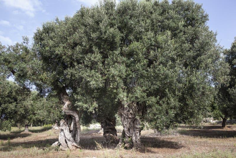 Oliwki w Salento w Puglia i zdjęcia stock