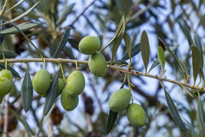 Oliwki zielone w drzewie fotografia royalty free
