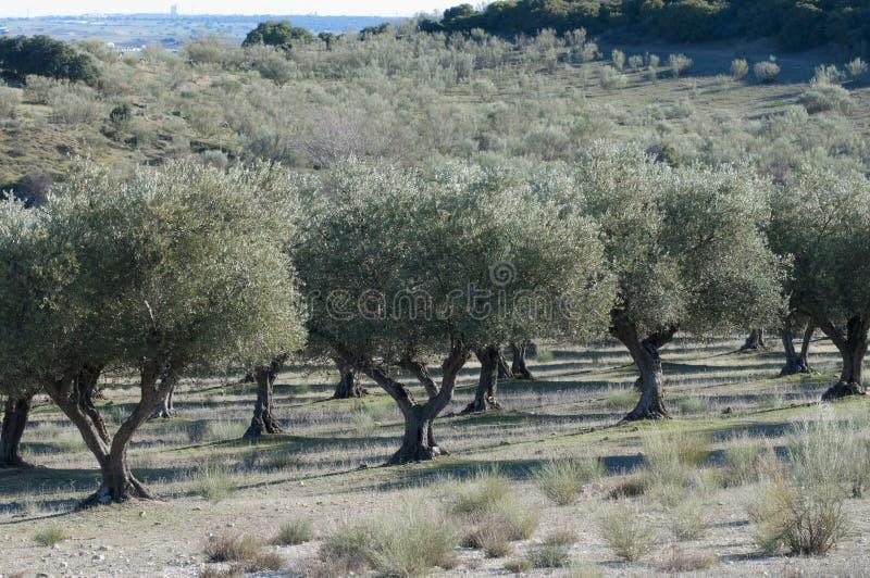 Oliwna plantacja w środkowym Hiszpania zdjęcia royalty free