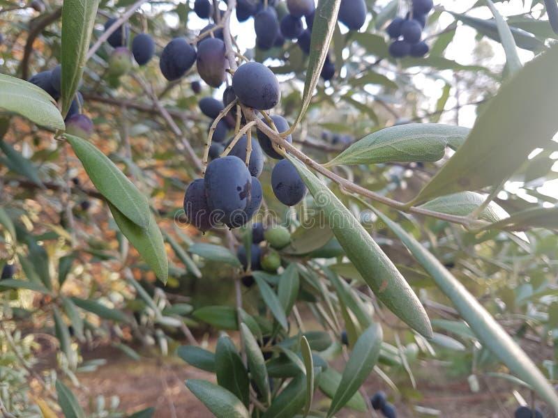 oliwne gałęziaste owoc obraz stock