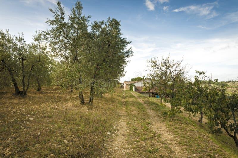 Oliwnego gaju gospodarstwo rolne w Tuscany fotografia royalty free