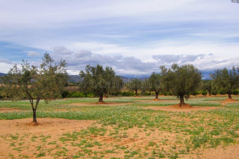 oliwnej plantaci drzewo fotografia stock