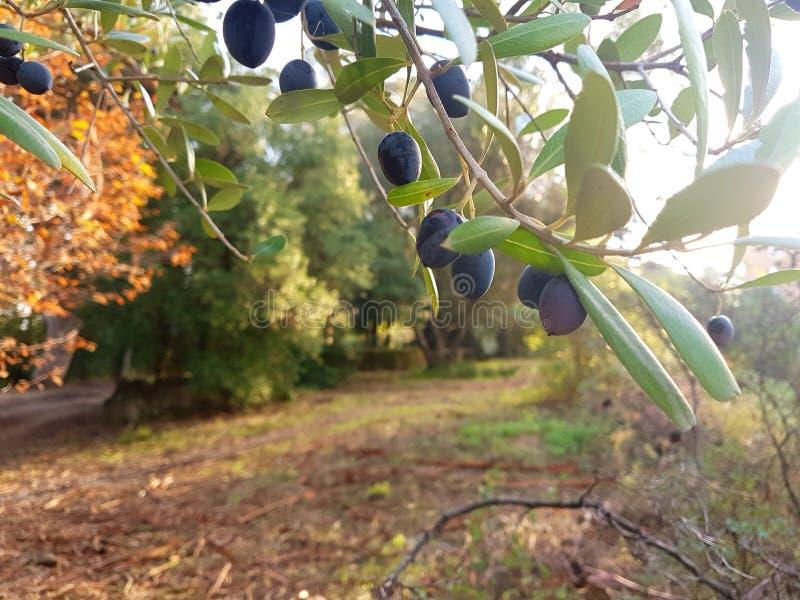 Oliwny śniadanio-lunch z owoc fotografia royalty free