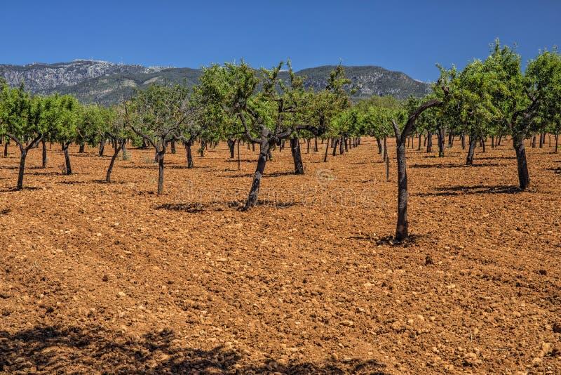 Oliwny gaj, Mallorca fotografia royalty free