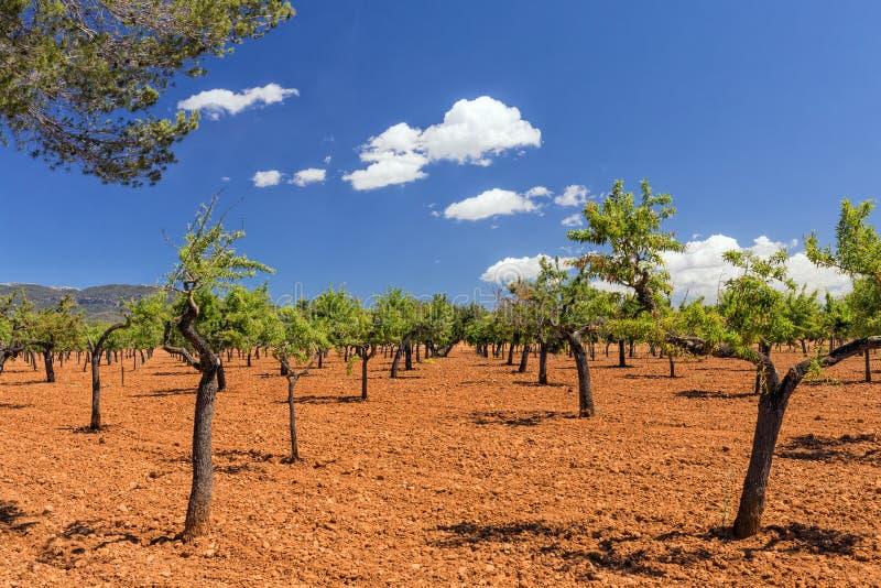 Oliwny gaj, Mallorca zdjęcie royalty free