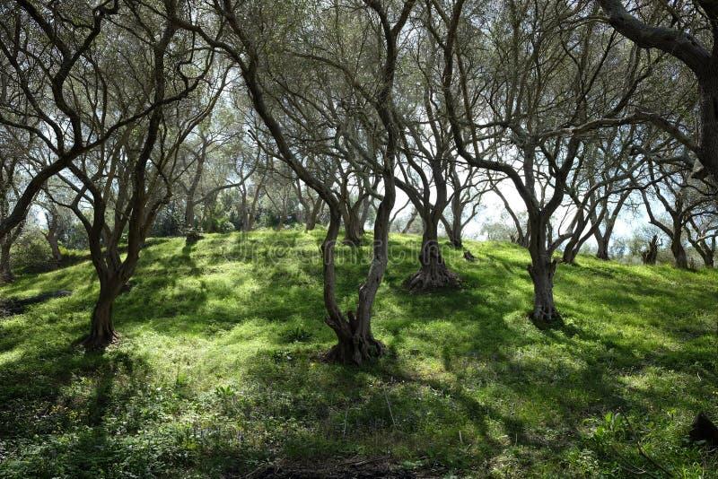 Oliwny gaj z zieloną trawą przy wiosną od Corfu wyspy fotografia stock