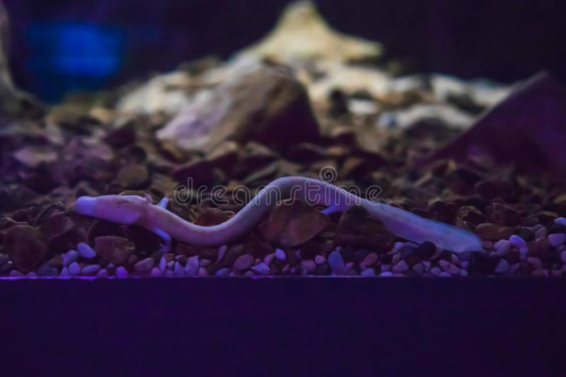 The olm or proteus or Proteus anguinus is an aquatic salamander in the family Proteidae, the only exclusively cave. Dwelling chordate species found in Europe royalty free stock photos