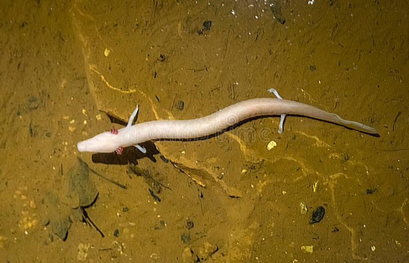 Olm - Proteus anguinus. In the stalactite cave Nova Vas, Porec, Istria, Croatia, Europe royalty free stock images