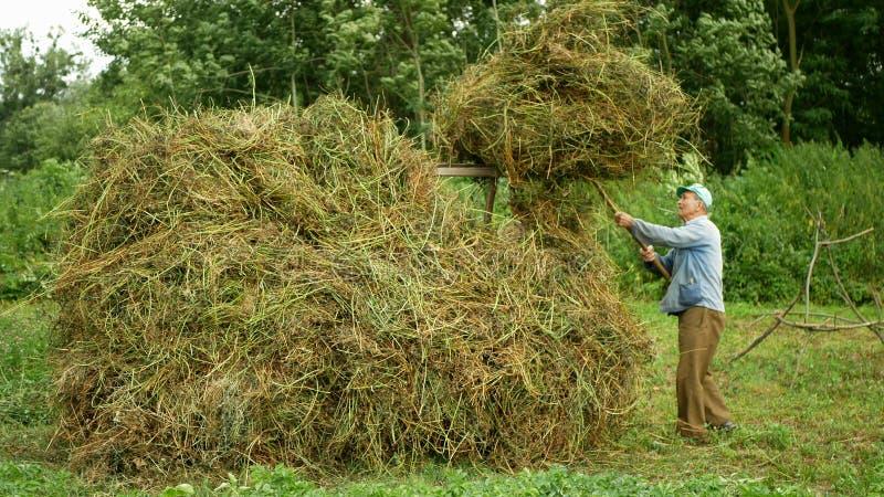 OLOMOUC, REPÚBLICA CHECA, EL 20 DE JULIO DE 2019: El viejo hombre crea los pajares alfalfa y henil usando la pila del bieldo, hen fotografía de archivo libre de regalías
