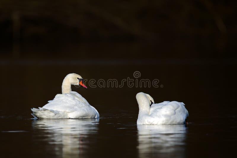 Olor Cygnus безгласных лебедей стоковое фото rf