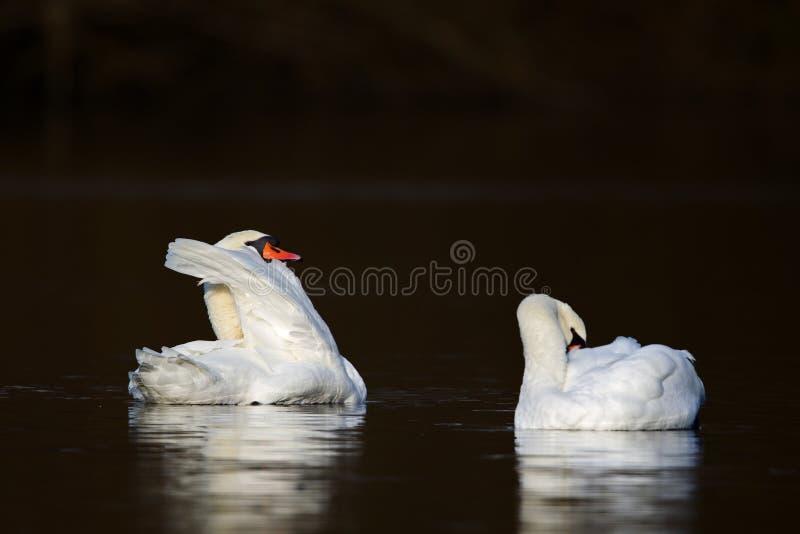 Olor Cygnus безгласных лебедей стоковое фото