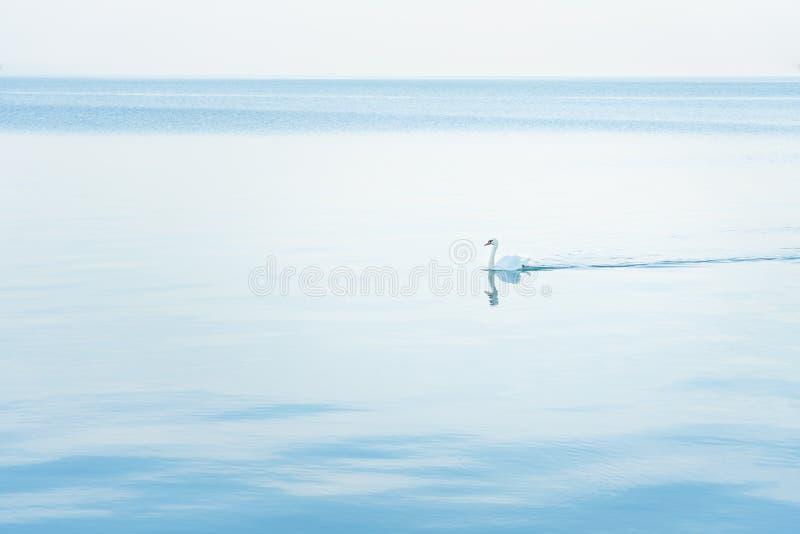 Olor de Cygnus de cygne muet flottant à travers le lac monochrome à l'aube image stock