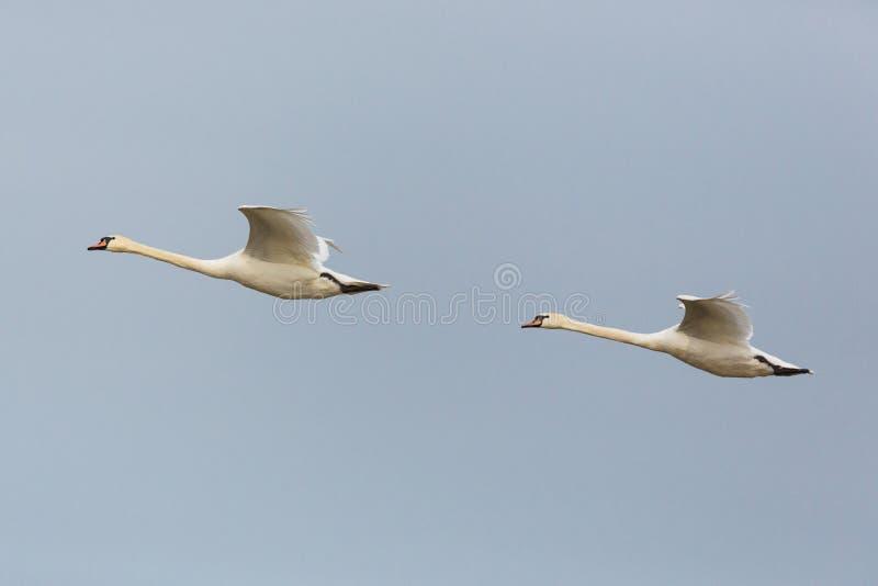 Olor de cygnus de cygnes muets du portrait deux de vue de côté dans le vol consécutif images libres de droits