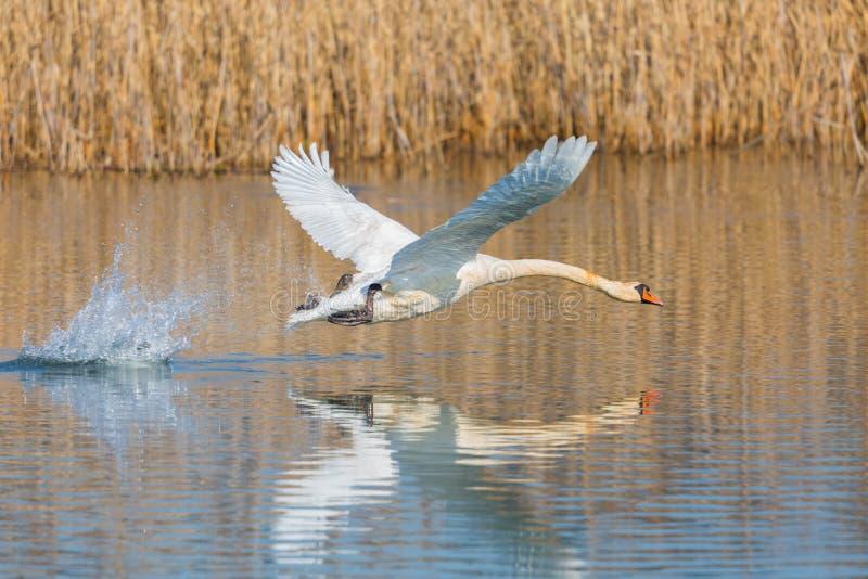 Olor del cygnus del cisne mudo que saca de la superficie del agua, correa de lámina imagenes de archivo