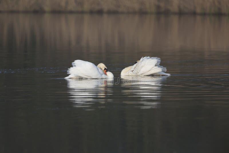 Olor del Cygnus di due cigni muti pronto a combattere per proteggere il loro nuoto del territorio in un lago fotografia stock libera da diritti