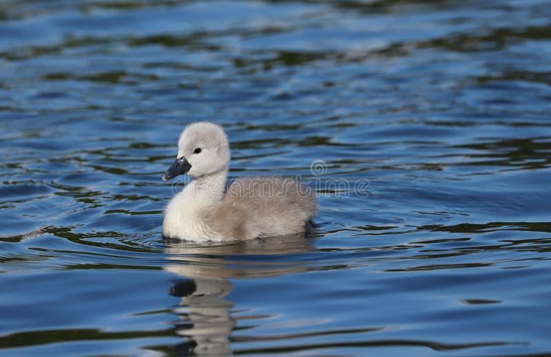 Olor do Cygnus do cisne novo da cisne muda fotografia de stock royalty free