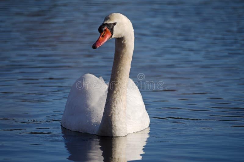 Olor do Cygnus da cisne muda fotografia de stock royalty free